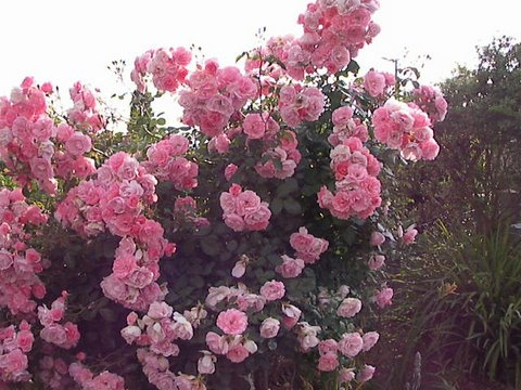 Quel rosier planter - A quel moment tailler les rosiers ...