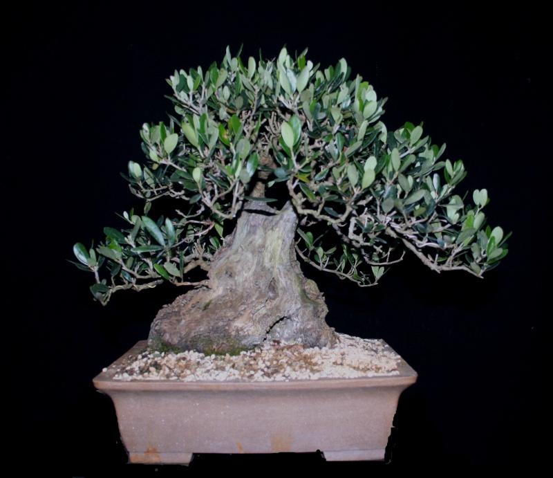 jeune plant d 39 olivier pour futur bonza. Black Bedroom Furniture Sets. Home Design Ideas
