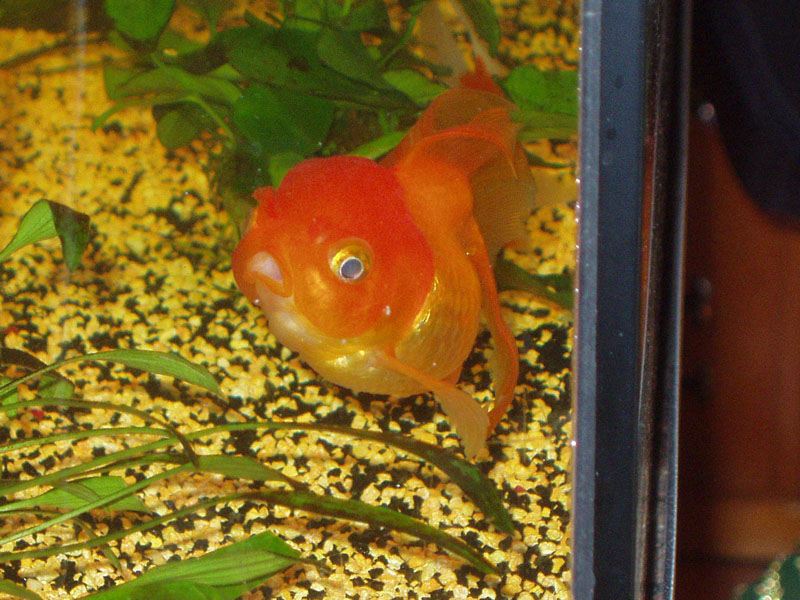 Forum message maladie poisson rouge malade for Poisson rouge gros yeux