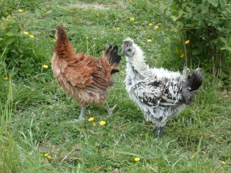 Mettre 1 coq fris et 1 poules fris e ensemble - Photos poules rigolotes ...