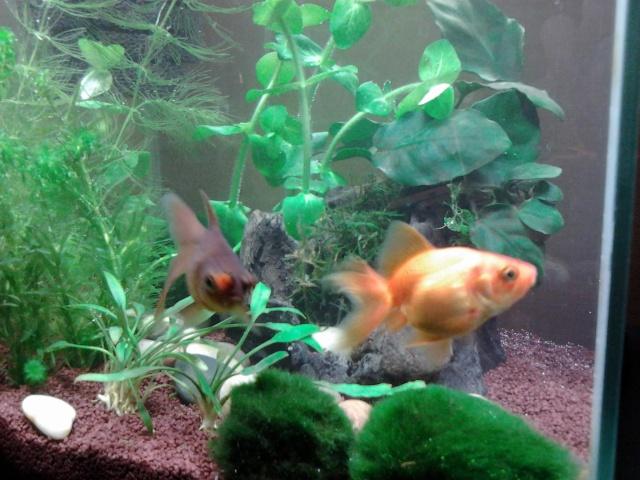 Donne poisson rouge fantail et poisson rouge pompons for Donne poisson