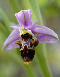 Photo Ophrys bécasse (Ophrys scolopax subsp. scolopax)