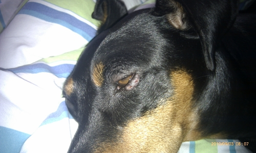 Hund auge herpes Augenherpes