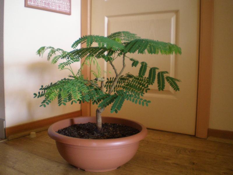 Делоникс в домашних условиях из семян
