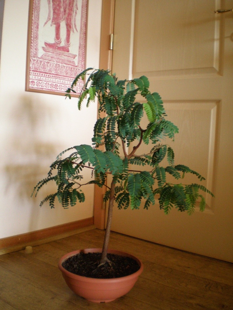 how to grow tamarind tree from seed