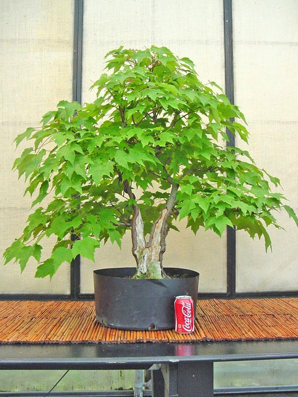 Acer rubrum project - Arce rubrum bonsai ...