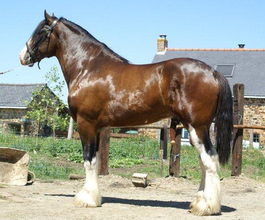 le shire le plus grand cheval au monde invit. Black Bedroom Furniture Sets. Home Design Ideas
