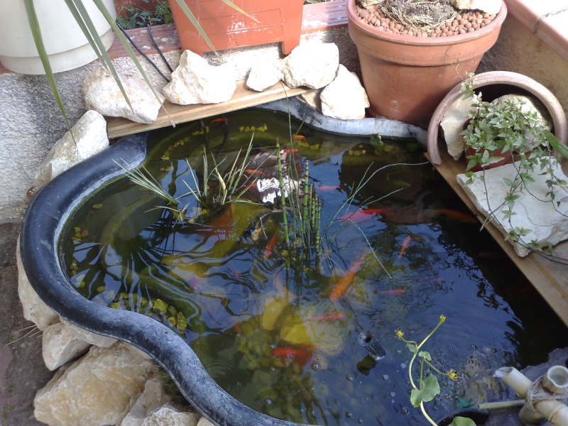 Bassin poisson rouge carpe koi for Poisson koy