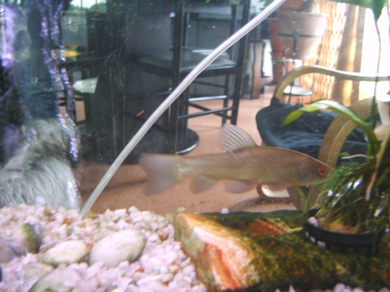 Bassin poisson rouge carpe koi for Croisement carpe koi poisson rouge
