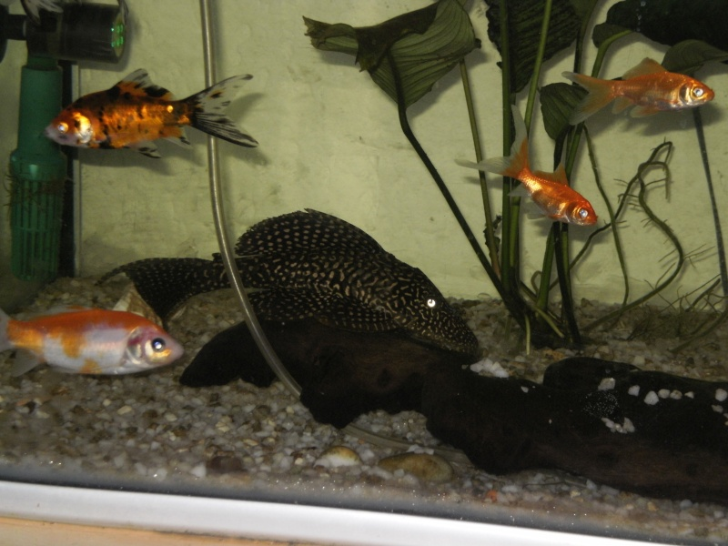Bassin poisson rouge carpe koi for Poisson koi aquarium