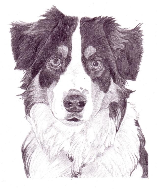 Berger australien myska - Dessin d un chien ...