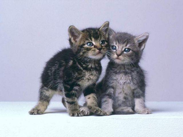 Les chats Européens