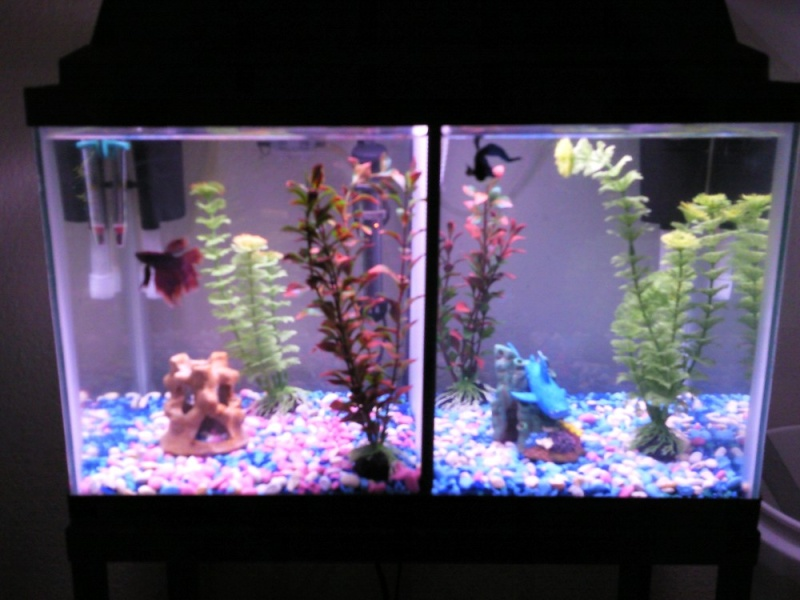 Tank mates for bettas for Split fish tank