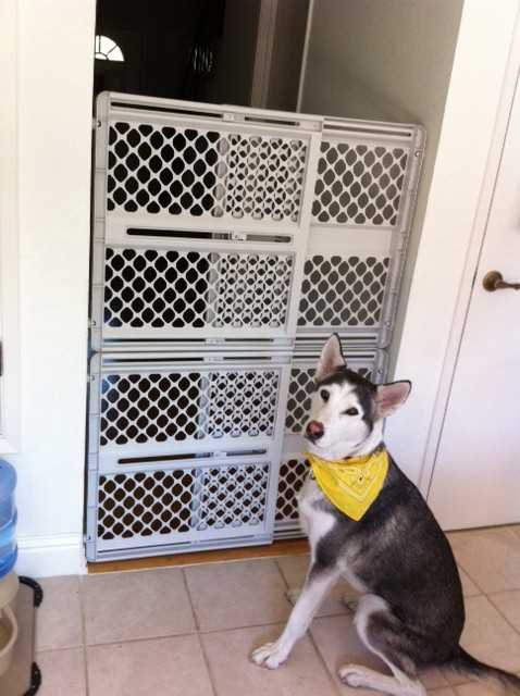 Any Indoor Pet Gate Tall Enough For A Husky